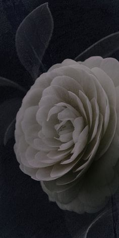 """Flowers in Neutral Moment-2015 """" Camellia Japonica-#5 """" Archival pigment print Printed on cotton rag fine art paper Photo by Soichi Oshika"""