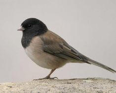 Dark-eyed Junco (Oregon) -- (Discovery Park, Sacramento CA; Small Birds, Little Birds, Pet Birds, List Of Birds, Bird Identification, Audubon Society, Bird Aviary, Bird Sculpture, Backyard Birds