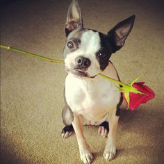 How sweet! This looks like a romantic gesture from a Boston Terrier to their special companion