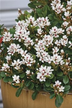 Rhaphiolepis indica 'Oriental Pearl' from Melbourne wholesale advanced plant nursery, specialising in advanced and semi-advanced container grown plants, trees & shrubs. Garden Nursery, Plant Nursery, Front Yard Plants, Paradise Plant, Hedging Plants, Wholesale Nursery, Australian Native Garden, Oriental, Plant Catalogs