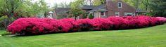 Azalea Hedge after many years~