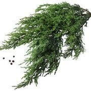 Juniper (Juniperus) is a genus that belongs to the Cupressaceae family. These evergreen trees and low-growing shrubs grow seed-filled fruit and green, gray, blue or yellow foliage. Many juniper . Juniper Shrub, Juniper Plant, Juniper Tree, Juniper Berry, Cedar Trees, Cypress Trees, Evergreen Shrubs, Trees And Shrubs, Gardens