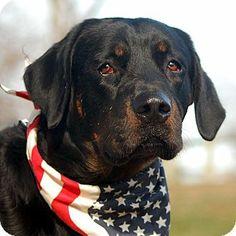 Unionville, PA - Rottweiler/Labrador Retriever Mix. Meet Gunner a Dog for Adoption.
