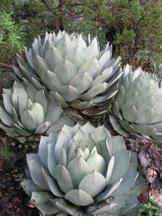 Agave parryi var. truncata (Artichoke Agave) is an evergreen, perennial succulent plant forming tight rosettes of broad, short, thick...