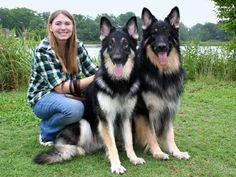Shiloh Shepherds, bigger than German Shepherds.....oh my gosh, these are gorgeous!