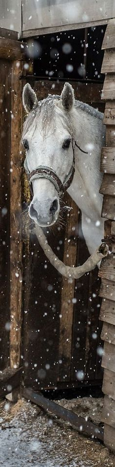 Cool long pin of horse peeking out of his stable into the snow. Pretty white horse!