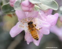 Honey bee on a cenizo, Leucophyllum frutescens. (Photo by Kathy Keatley Garvey)