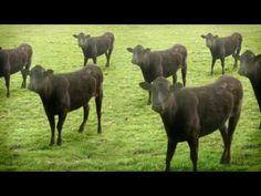 video, cyriak, dancing cows