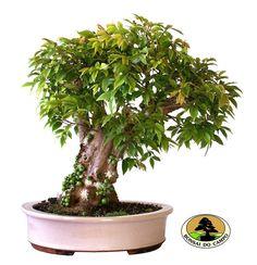 Jabuticaba (Myrciaria cauliflora) bonsai