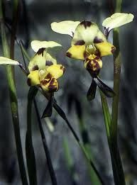 australian native orchids - Google Search