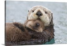 Female Sea otter holding newborn pup out of water, Prince William S...