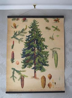 A vintage pull down school chart with botanical illustrations of a Norway spruce pine or Picea Excelsa. Czechoslovakian made, full colour print on heavy paper with black painted dowels and original cotton hanging chord. Pull down loop is missing from the lower dowel. Central illustration