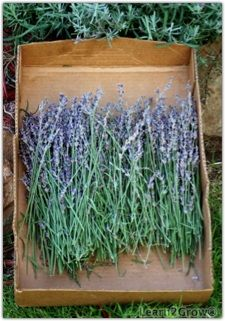 Harvesting & Drying Lavender