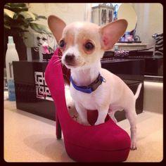 Coco mini Chihuahua