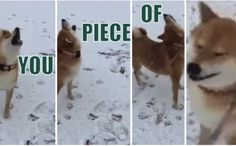 Shiba Speaks Up For Every Dog Victimized By Fake-Out Tosses Dog Memes, Shiba, Polar Bear, Best Dogs, Pugs, Dogs And Puppies, Corgi, Feels, Humor