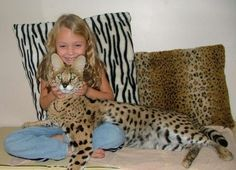 Savannah cat. Cross breed, large domestic cats that are as sociable as dogs. It's like a mini tiger!