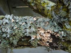 Lichen for natural dyeing from yard waste.