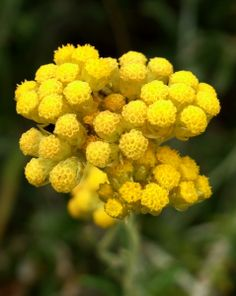 """Healing Essential Oils · Helichrysum - This """"emergency oil"""" can stop bleeding on contact and acts as an instant analgesic for gashes and wounds."""