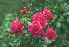 beautiful flowers   Nice Pink Rose Flowers Photography   All Flowers   Send Flowers ...