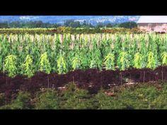 Tennessee Wholesale Nursery is an Online Plant! Visit http://www.tnnursery.net/