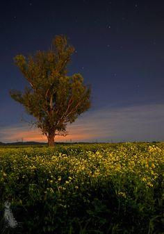 Mustard Flower Field Night Shot...Nipomo, CA