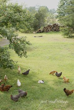 farm life....chickens