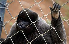 #Macacos são aliados na luta contra a febre amarela, alertam técnicos - Correio da Bahia: Correio da Bahia Macacos são aliados na luta…