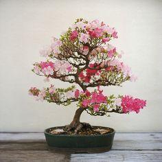 Satsuki Azalea #bonsai Going to try this. #Japanesegardens