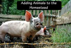 What is the right time for adding animals to the homestead? How much care and time does each type of animal require? How to get your homestead animal ready