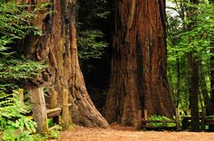 Henry Cowell Redwoods State Park in Felton, CA