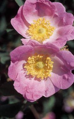 'Bourgogne' ist eine Zuchtform der Gebirgs-Rose (Rosa pendulina). Sie trägt drei bis vier Zentimeter große zartrosa Blüten mit leichtem Duft und wird bis 150 Zentimeter hoch