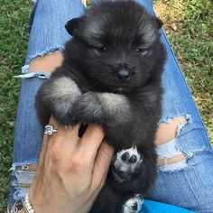 puppyfabs/2016/08/28 03:57:00/• 🐶Picture by© : @effyskye_the_keeshond