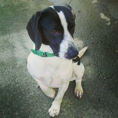 dumbo!!! (beagle)