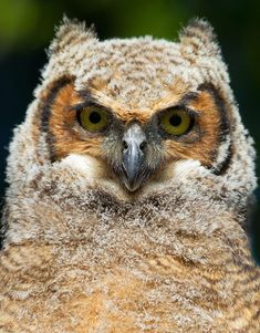 Great Horned Owlet by Jim Cumming on 500px