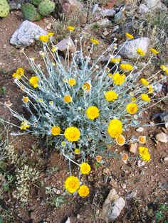 Desert marigold.  Drought tolerant and very hardy.