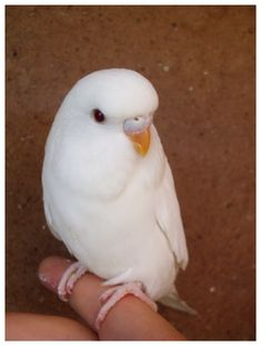 Budgie albino, I had one like this....her name was Blanca.  Repinned by Kate- mine was called Persil after the washing detergent! Ha!