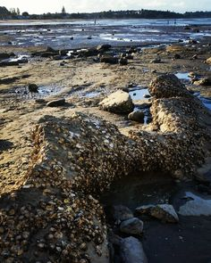 #lowtide #nature #shells #rocky #easternbeach #aucklandnz by inthemomentoflife http://ift.tt/1JtS0vo