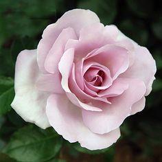 'La Rose du Petit Prince' – syn. 'Arctic Ice', 'Rose Synactif by Shisheido' - Delbard (2008). TH. Gevulde, sterk geparfumeerde ( citrus, anijs, oude rozen), lila bloemen (10/12cm). Goed resistent.150cm x 120cm.