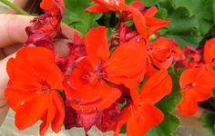 Sok-sok muskátli virágra vágysz? Akkor ezt mindenképpen meg kell tenned! - www.kiskegyed.hu Malva, Vegetables, Plant, Vegetable Recipes, Veggie Food, Veggies