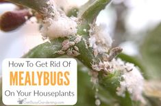 How to get rid of mealybugs on houseplants, for good! Small Indoor Plants, Little Plants, Outdoor Plants, Air Plants, Agriculture, Farming, Plant Bugs, Plant Pests, Garden Bugs
