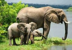 Ugandans fear curse of oil wealth as it threatens to blight 'pearl of Africa' Oil drilling may bring benefits in healthcare and education, but critics are concerned about corruption and the effect on wildlife and under developed populations Elephant Images, Asian Elephant, Elephant Love, Elephant Ears, Animals Beautiful, Cute Animals, Safari Animals, African Vacation, Ivory Trade