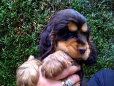 Find Out More On Playfull Cavalier King Charles Spaniel Black Cocker Spaniel, American Cocker Spaniel, Cocker Spaniel Puppies, Baby Puppies, Cute Puppies, Cute Dogs, Dogs And Puppies, Doggies, Cavalier King Charles