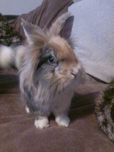 Velvet - lionhead rabbit                                                                                                                                                                                 More