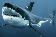 Great White Shark.. beautiful