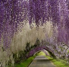 Wisteria tunnel, Kawachi Fuji park, Japan... must smell heavenly!