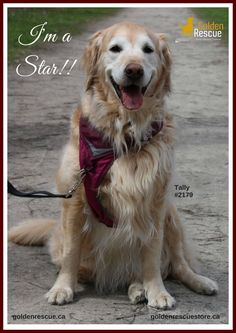 """Tally, #2179 says it's time to make your golden rescue a star! We need clean clear photos of goldens so we can create posters for social media. If you would like to see your dog featured, please send their photo, name and rescue number to socialmedia@goldenrescue.ca. In the subject box, type """"Golden photos for social media"""". Thanks, everyone! #goldenrescue #secondchances #RescueMissionofLove #foreverdog #foreverfamily #foreverhome #committment #rescue"""