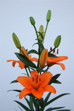 tiger lilies such beautiful flowers with so much. Black Bedroom Furniture Sets. Home Design Ideas