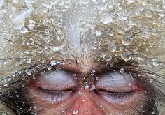 Japanse makaken zijn net mensen en genieten net als wij erg van een warm bad. Zoals wanneer ze in warm waterbronnen poedelen om warm te blijven.