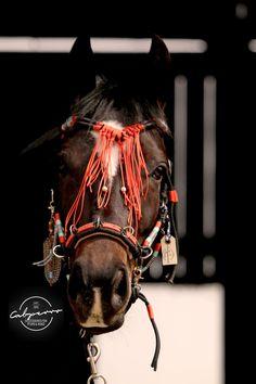 Kappzaum, Showhalfter, Pferdezaum, Shootingzäume, Pferde Halfter, Cabperro