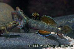Rhinogobious duospilus male